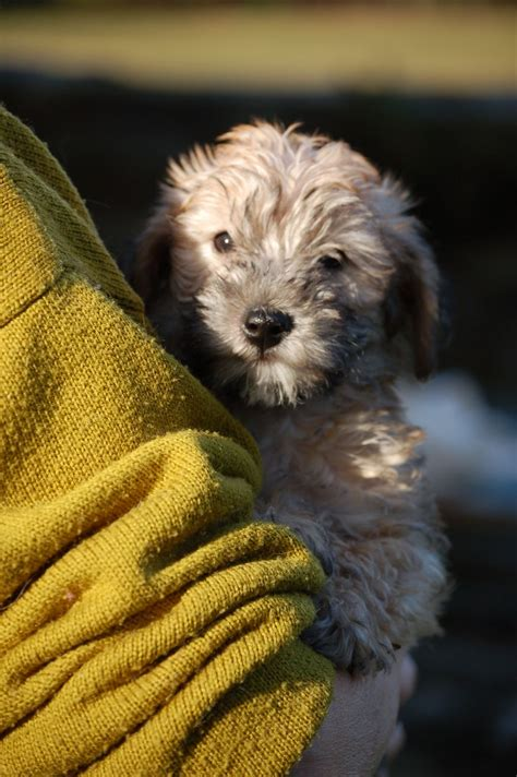 poodle x yorkie poodle x terrier pups coleford gloucestershire pets4homes