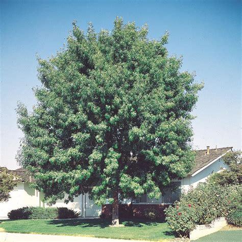 fan tex ash tree shop 27 5 gallon fan tex ash l1051 at lowes com
