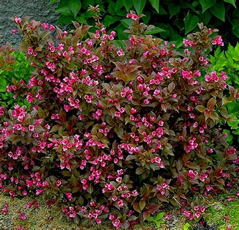 [weigela bush varieties]   28 images   wine roses 174