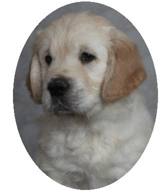 golden retriever breeders in ireland golden retriever puppies for sale in northern ireland photo