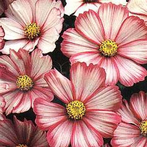 Biji Benih Bunga Cosmos Casanova bibit bunga cosmos picotee
