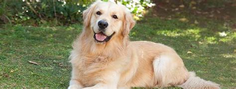 golden retriever activities golden retriever history personality appearance health and pictures