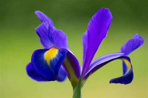 iris fiori free photo iris flower purple mauve free image on