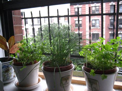 Herbs Windowsill growing herbs on your windowsill me big you