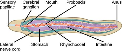 Diagram Of Tapeworm Liver Fluke Earthworm Hydra With Labelling 10092557 Meritnation Tapeworms Phylum Facts