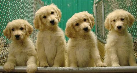 goldendoodle puppies for sale ta 26 best goldendoodles images on