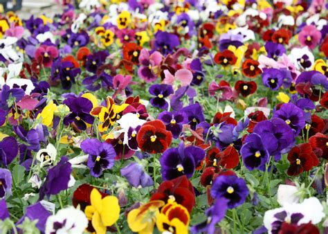 pansy colors plant matrix pansies now for winter color mississippi