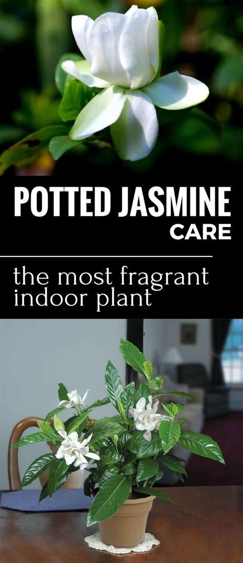 potted jasmine care   fragrant indoor plant