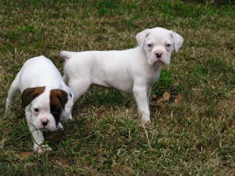 puppies for sale in yuma az boxer puppies dogs for sale in mesa arizona az 19breeders scottsdale yuma