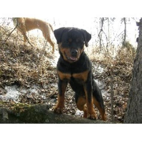 alberta rottweiler rescue coulee reg d rottweiler breeder in rocky mountain house alberta