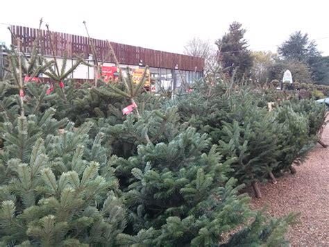 new in christmas trees galore at hilltop weeley