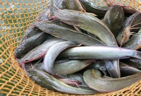 Per Ekor Bibit Ikan Lele berikut keuntungan ternak ikan lele per 1000 ekor sacara rinci
