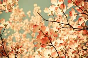 cherry blossom color blossoms cherry blossom colors flower flowers image