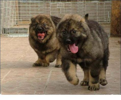 caucasian mountain for sale caucasian mountain shepherd for sale in usa breeds picture