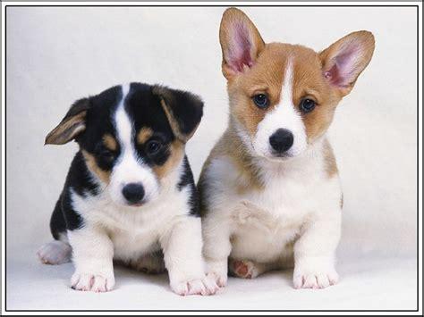 puppies ebay 4set pembroke corgi puppy dogs puppies greeting notecards envelopes ebay
