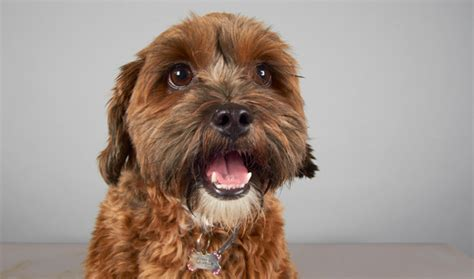 lifespan of a shih tzu poodle shihpoo breed information