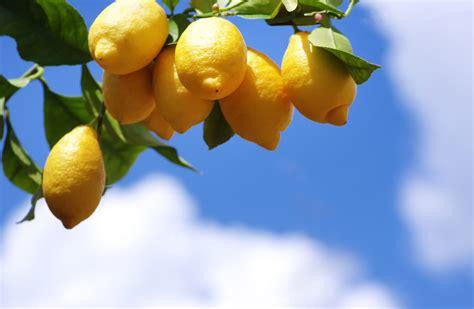 come curare il limone in vaso come curare la pianta di limone in vaso o in giardino l