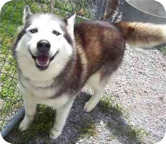 husky malamute mix puppy alusky husky malamute info puppies and pictures