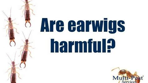 Are Earwigs Harmful? - Multi-Pest Services