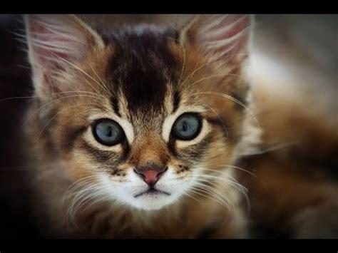 top breeds top 10 most friendliest cat breeds in the world top ten