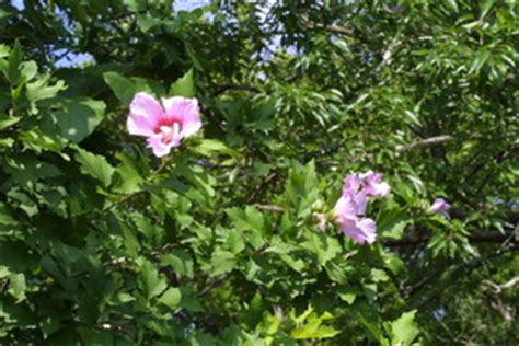 vanderbilt cus map hibiscus syriacus syrian ketmia discover
