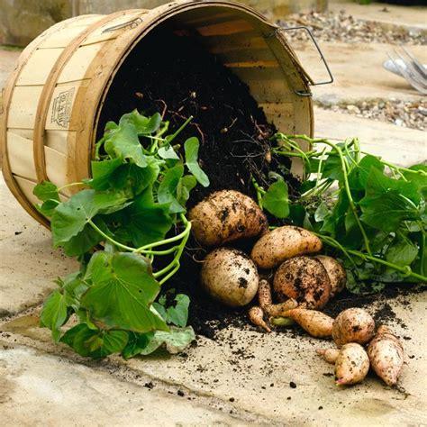 Gardening Potatoes Growing Sweet Potato Plants Suttons Gardening Grow How