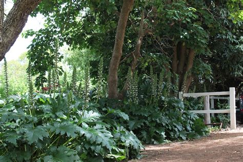 Container Flower Gardening Ideas - acanthus mollis building collection of tropical plants pinterest oysters spikes and plants