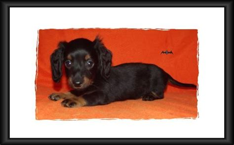 dachshund puppies for sale in alabama mini dachshund puppies for sale in alabama akc smooth coat breeds picture