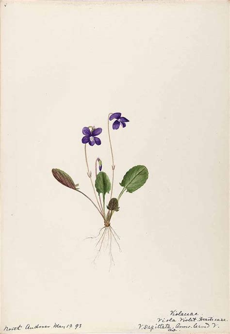 violet flower tattoo 206269 viola sagittata aiton sharp helen water color