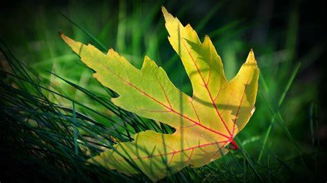 high resolution maple leaf deviantart leaf wallpaper wallpapersafari