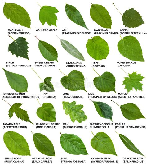 printable leaves and names tree leaf pictures and names theleaf co