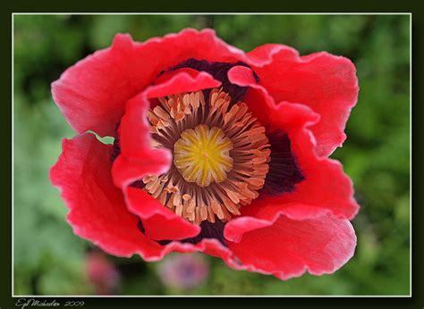 Opium opiumsvalmue papaver somniferum