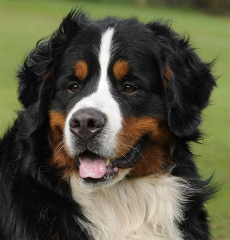 mountain dogs portrait of a beautiful bernese mountain on grass background wallpapers and images