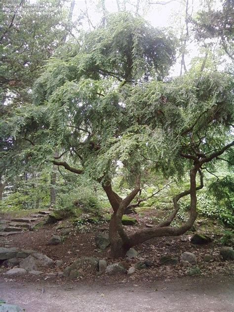 plant identification closed weeping evergreen small tree at stan hywet in akron oh 1 by kcc138