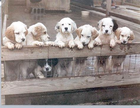 english setter finished dogs for sale 17 best images about english setter love on pinterest