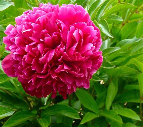 june peony paeonia species santa fe botanical garden