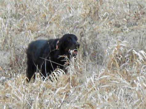 gordon setter dog club badgerland fun field day