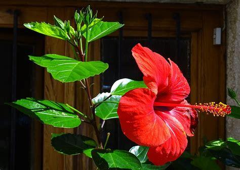 hibiskus im garten hibiskus pflege schneiden vermehren und 220 berwintern