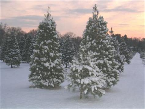 delaware christmas tree growers association