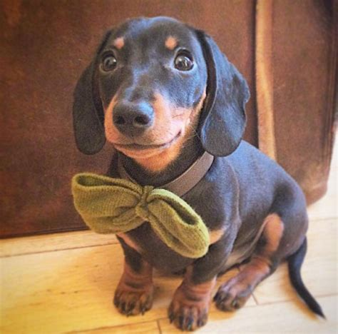 sausage central sausage central on quot smile sausagedogcentral dachshund http t co
