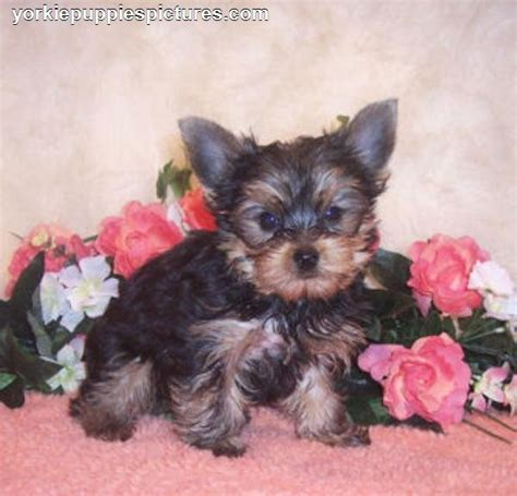 rescue yorkie puppies free teacup yorkie puppies for adoption