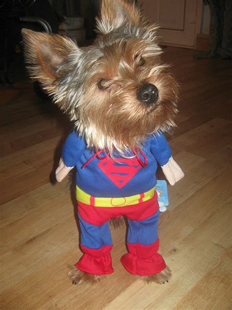 yorkie superman costume yorkie costume animales yorkies and cat beds and costumes