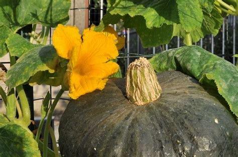 fiori di zucca coltivazione zucca verde ortaggi caratteristiche della zucca verde