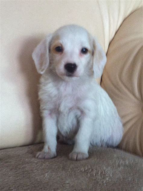 jackapoo puppies a poo puppies breeds picture