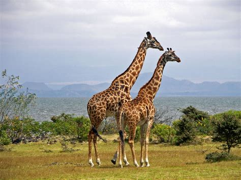 imagenes de jirafas con reflexion la animalopedia jirafa giraffa camelopardalis