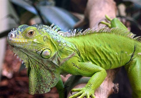 Pemutih Melone angie sudibyo mengenal iguana