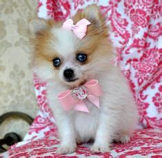 blue eyed pomeranian puppies for sale 1000 images about pomeranians on pomeranian for sale teacup pomeranian