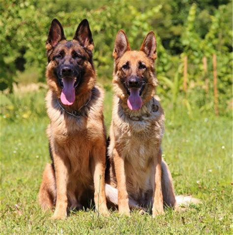 how to your to behave around other dogs german shepherd temperament what s it generally like