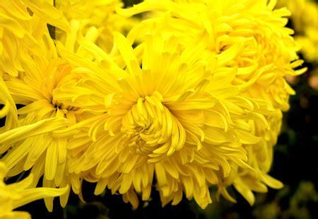 fiore giallo nomi fiori gialli nomi fiori idea immagine