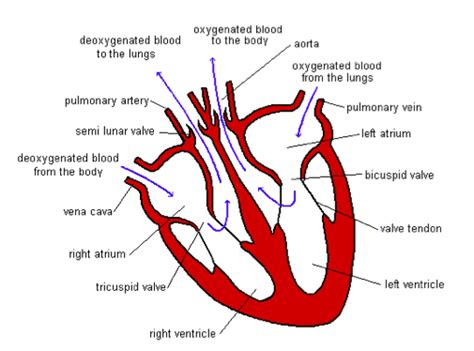 the attentive heart conversations with trees ebook lungs diagram igcse gallery how to guide and refrence